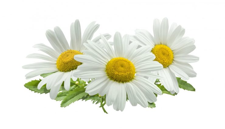 The Magickal Properties of Chamomile
